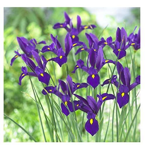 25 x Iris Blue Pearl- Makes Great Cut Flowers- for a Beautiful Garden