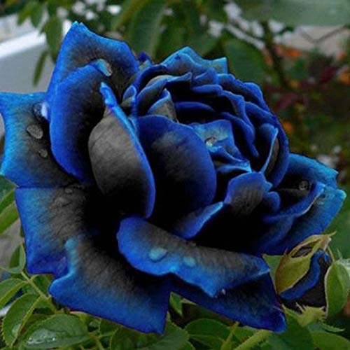 Catkoo Samen,50 Stücke Blau-Schwarz Rose Blumensamen Hausgarten Mehrjährige Bonsai Pflanze Dekoration Geeignet Balkon,Wohnzimmer,Garten,Weihnachtsdekoration Rose Seeds