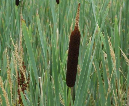 ZAC Wagner Breitblättriger Rohrkolben (Typha latifolia) Teichpflanze Teichpflanzen Teich