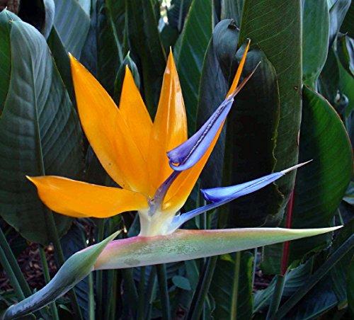 Mandelas Oiseau d'or du Paradis 10 graines - Strelitzia - élégant - Rare