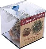 Rosa di Gerico sfusa contenuta in un sacchetto trasparente con fiocco un piattino in terracotta una scatola misure 10x10x10 in plastica trasparente istruzioni per l'uso