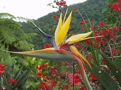 RARE Oiseau d'or de Mandela Of Paradise SEEDS Strelitzia, Expédié Etats-Unis!