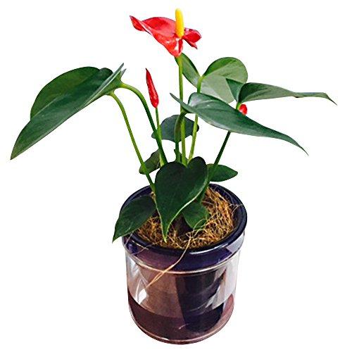 ミニ胡蝶蘭 マイクロアンスリウム アクアポット 2.5号鉢植え /お中元 ギフトに花のプレゼント 開店祝いに 母の日 (ダークブルー)