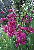 geoponics matchpoint gladiolo - gladioli tuberi - facile da coltivare fiori - 12 lampadine