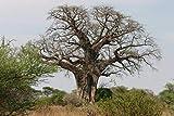 zumari 5pcs Adansonia African Baobab Bonsai al revés semillas de árboles