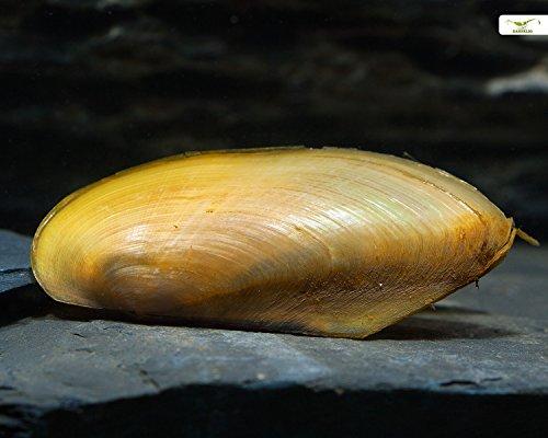 Tropische Muschel Pilsbryoconcha exi