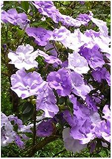 TROPICA - Brunfelsie Brunfelsia pauciflora - 10 Samen