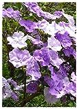 TROPICA - Brunfelsie (Brunfelsia pauciflora) - 10 Samen