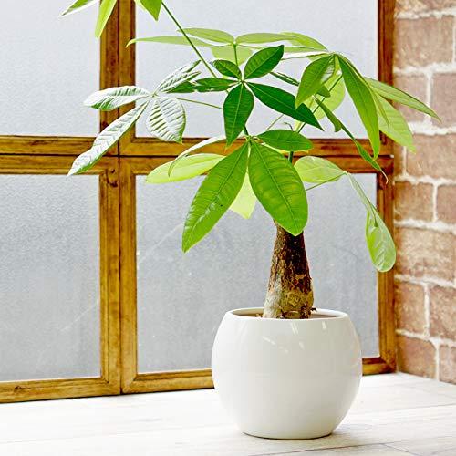パキラ 土を使わずきれいで簡単管理な白陶器植えピュアボウルLL ハイドロカルチャー