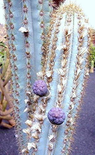 Pilosocereus Azulensis Blue Color Columnar Cacti Cactus PIa Rare Las Superlatite Vegas Mall