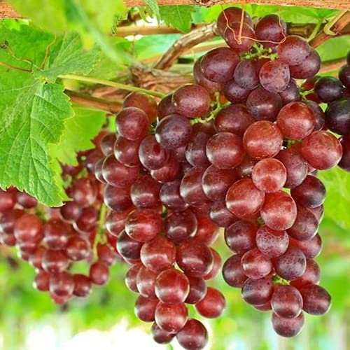 Wine Grape Seeds for Planting, 100 Red...