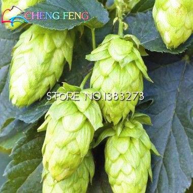 Nave libre 20 PC lúpulo. Semillas Humulus lupulus plantas raras de la cerveza de la flor Forma Rizomas 2016 Jardin Nueva Bonsai Semilla Plantas Venta