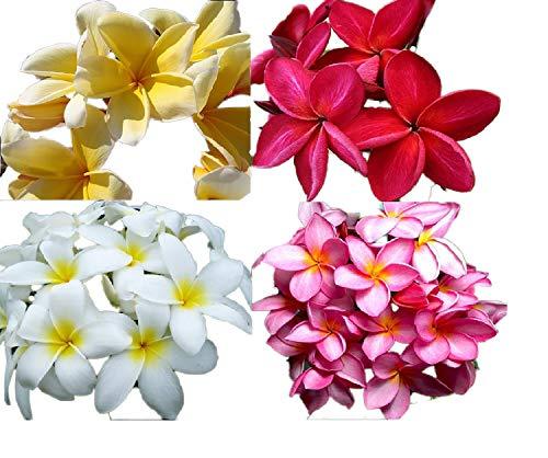 Plumeria Mix 5 Samen (Die schönsten Farben) -siehe bilder-