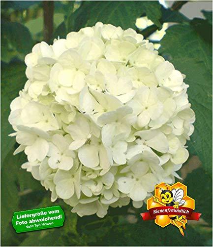 BALDUR Garten Echter Gefüllter Schneeball, 1 Pflanze Viburnum opulus 'Roseum'