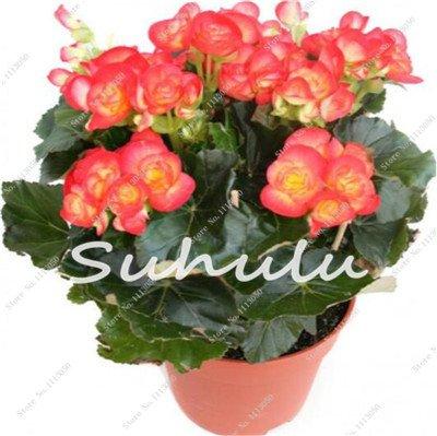 100 Pcs Bonsai Graines Begonia hybrida Voss Fleurs lanternes Begonia Malus Spectabilis décoratifs chinois Bonsai Fleurs Jardin 7