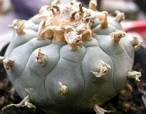 Exotic Plants Lophophora williamsii v San Pablo Nuevo Leon - Peyotl – cactus San Pedro - 10 graines