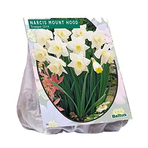 Narcis Mount Hood 15 Stück Osterglocken Narzissen Blumenzwiebel