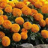 Eastbride Rare graines de Multicolor,500 graines de chrysanthème de Pomme de pin, graines de Fleurs de Jardin vivaces résistantes au Froid et au Printemps,vivaces graines Fleurs ornementales