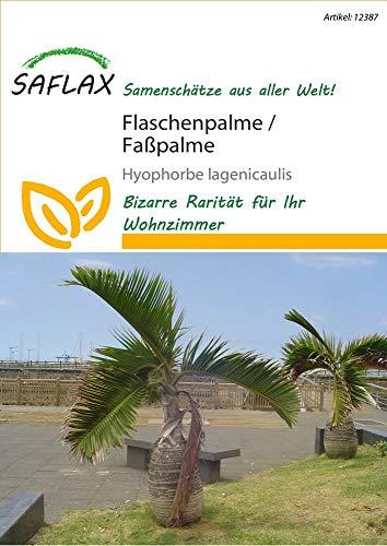 Saflax 12387 Flaschenpalme/Faßpalme (Faßpalmensamen)