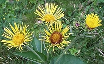 Elecampane Root, Cut&Sifted - Wildcrafted - Inula helenium (454g = One Pound) Brand: Herbies Herbs