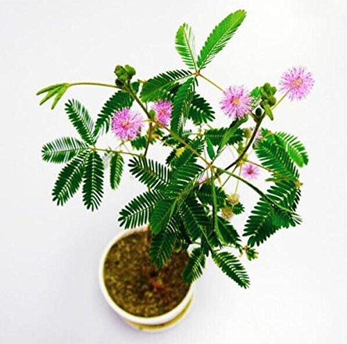 Les ventes chaudes! 100pcs Graines Mimosa Pudica Linn, feuillage Mimosa Pudica Sensible Bonsai plante jardin Livraison gratuite 2