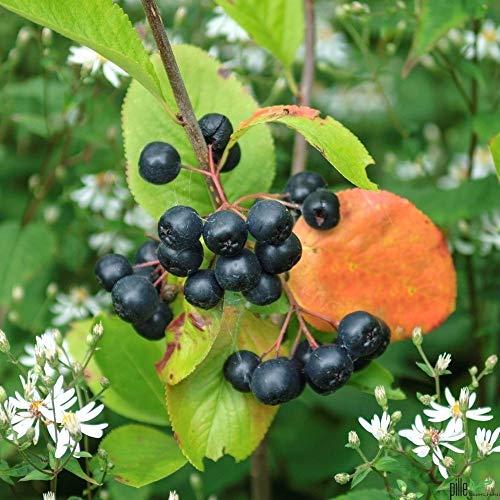 Aronia melanocarpa Viking schwarze Apfelbeere Vitaminreich Aroniabeere Busch 40-60 cm