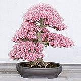 Yukio Samenhaus - selten 10 Korn Japanische Blütenkirsche Sakura-Samen winterhart