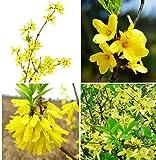 Portal Cool 20 semi Forsythia Seeds Forsythia Suspensa Fructus Forsythiae Organic Herbs?