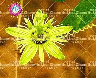 bonsai 100pcs semillas de pasiflora súper raras planta en maceta Flor rara Planta ornamental para el jardín de Passiflora 10