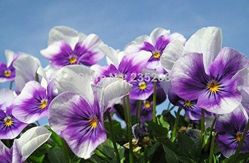 Vente chaude 90pcs Pansy Graines Bonsai Flower Seed DIY jardin Livraison gratuite