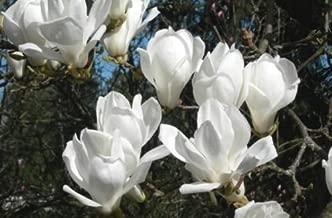 Yulan Magnolia, Magnolia denudata, Tree Seeds (Showy Fragrant Flowers) 30 seeds