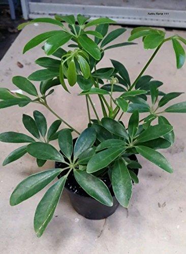 Dwarf Umbrella Tree, Schefflera Arboricola Beautiful Foliage...