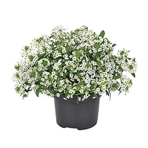 Alysum, Lobularia maritima 'Snow Princess' - Duftsteinrich, weiße Blüte, im Topf 12 cm in Gärtnerqualität - 12 cm