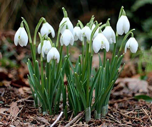 50 Zwiebeln Schneeglöckchen Galanthus Frische Zwiebeln mit höchster Keimrate