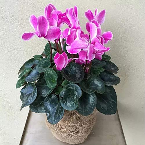 Alpenveilchen Samen, Garten Balkon Frühling blühende mehrjährige robuste Bonsai Topfpflanzen
