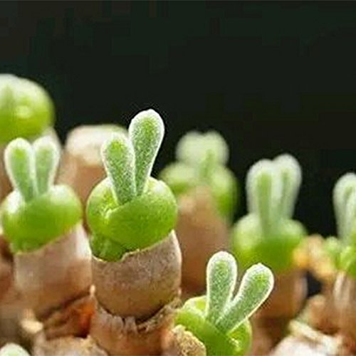 51v4tEgMs3L - Monilaria, une Plante à Tête de Lapin Venue du Japon - Plantes, Kawai, Japon, Inspiration