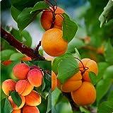 PAPCOOL Hardy Apricot Trẹẹ- 1 Year Old Trẹẹ - 1-2ft Tall