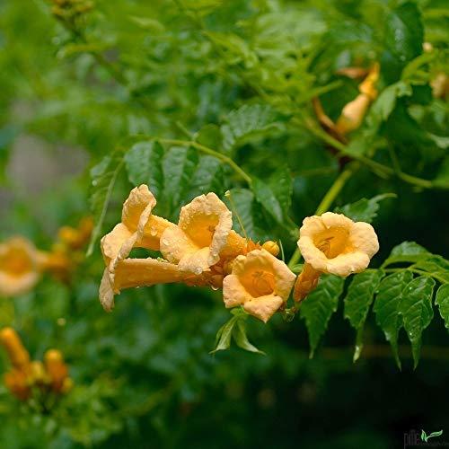 Campsis Klettertrompete Trompetenblume Kletterpflanze winterhart verschiedene Sorten (radicans Flava)