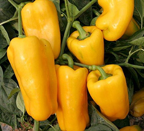 Grosses soldes! 100pcs super Big Red Hot Pepper Seeds 100% de haute qualité Paprika Hongkong Post Livraison
