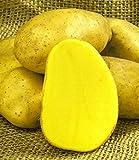 inkeme giardino - 50 pezzi di semi di patate insalata semi di ortaggi biologici gustosi specialità di patate semi di sementi ad alto rendimento resistente per giardino balcone/terrazzo