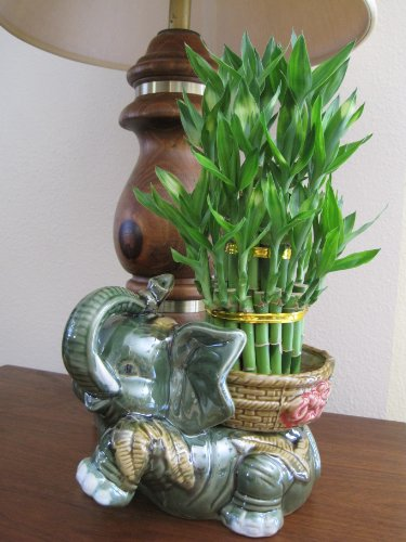 "Jumbo Size Elephant Ceramic Vase with 3 Tier 4"" 6"" 8"" Quality Lucky Bamboo Plant"