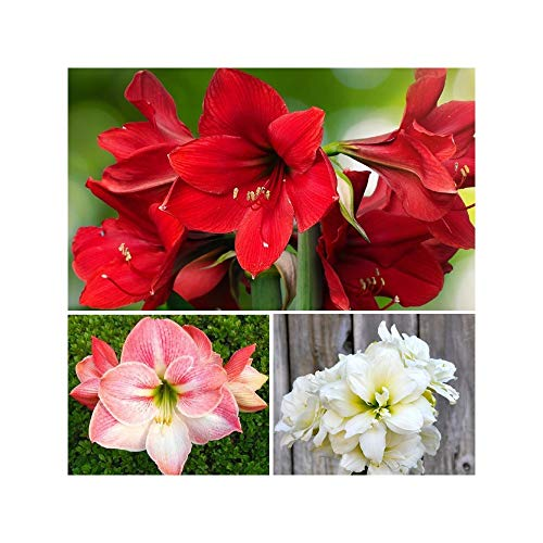 Red, Pink and White Amaryllis Jingle Bells Mix Collection - 3 Top Size Amaryllis Bulbs | Ships from Easy to Grow TM