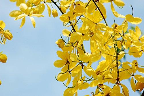 Indischer Goldregen (Cassia Fistula) - 10 Samen - wunderschöner Baum mit tausenden gelber Blüten, auch als Kübelpflanze