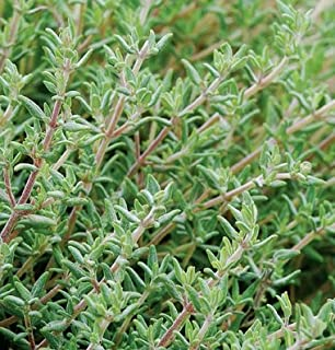20-25 Seeds of Orange Thyme 3635 (Thymus Fragrantissimus)