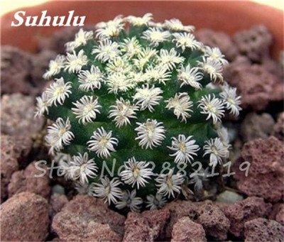 100 Pcs mixte vrai Cactus Seeds, Mini Cactus, Figuier, Graines Bonsai fleurs, vivaces herbes Plante en pot pour jardin 11