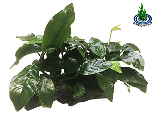 Greenpro (Anubias Nana 10+ Leaf Rooted) Anubias, Java Fern, Moss and More! Freshwater Live Aquarium Plants on Driftwood for Aquatic Tropical Fish Tank Decorations - Easy for Beginner