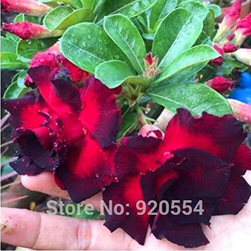 Les semences importées, 5pcs/lot Adenium Desert Rose bonsaï fleur graines « Dark Night » bricolage jardin maison D13