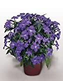 Blumensamen Amethyst Blume (Browallia americana) Jahres