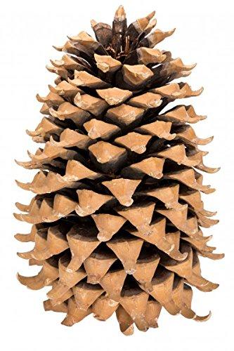 NaDeco Kaspatu Kiefer Zapfen 17-23cm Pinus coulteri Coulter Pine Cone Großer Tannenzapfen Dekozapfen Weihnachtsdeko Naturzapfen