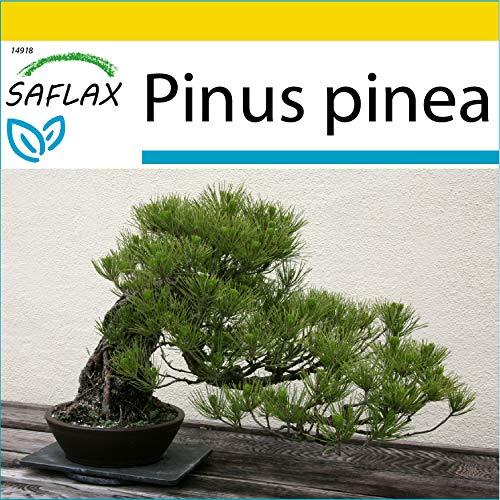 SAFLAX - Set de cultivo - Pinos piñoneros - 6 semillas - Con mini-invernadero, sustrato de cultivo y 2 maceteros - Pinus pinea